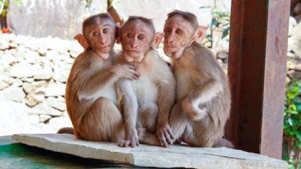 El hombre trabajaba en un instituto de investigación especializado en la cría de primates no humanos.