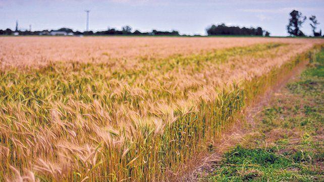 en baja. Se estima que el rinde en la zona de Cañada de Gómez rondará entre los 30 y 35 quintales.