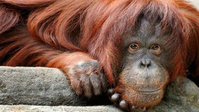 Sandra. La orangutana vivirá en el Center for Great Apes
