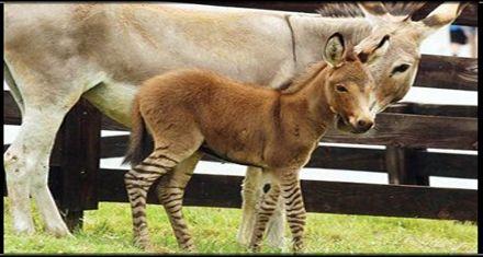 Nace un híbrido de cebra y burro en una reserva de Georgia