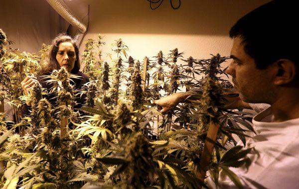 El Estado uruguayo busca cinco interesados para cultivar hasta dos toneladas anuales.