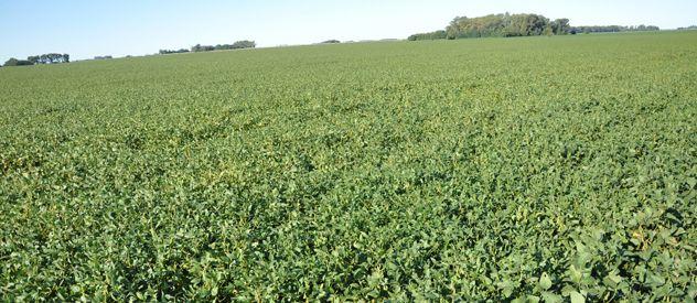 Oro verde. Las lluvias que castigaron a la región retrasaron la siembra de soja.