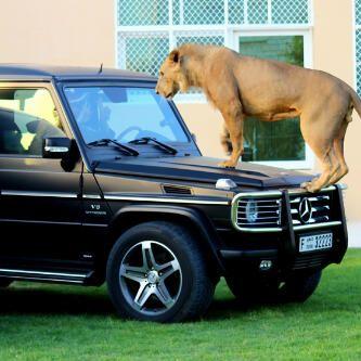 La leona fue capturada de forma segura y trasladada al zoológico.