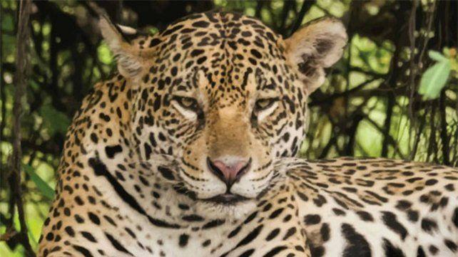 El yaguareté está en serio peligro de extinción.