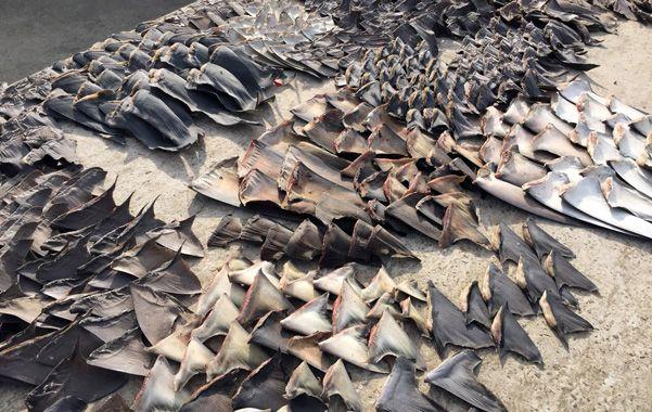 aletas. La captura del tiburón está prohibida por la ley de pesca de Ecuador.