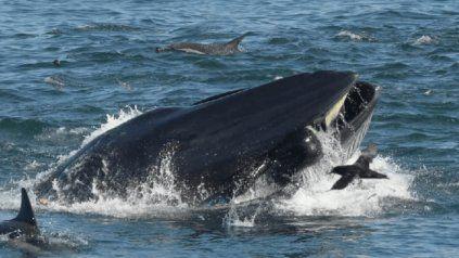 Una ballena se traga a un buzo y poco después lo escupe vivo al mar