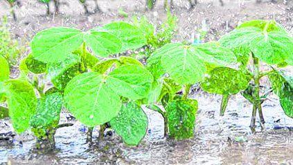 Las lluvias en Sudamérica provocaron la caída de las cotizaciones de la soja.