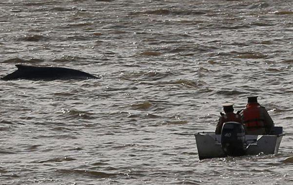 Desorientada. La ballena debe salir rápido del río de la Plata para que no peligre su salud