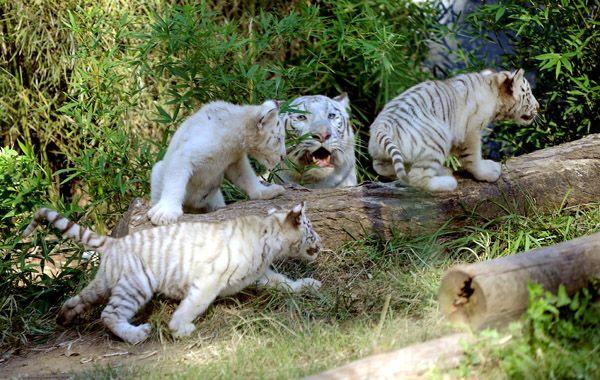 La madre se mostró algo hostil con los intrusos que llegaron para fotografiar a sus crías.