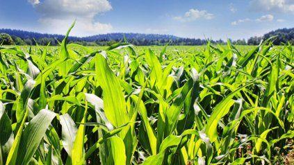 La Bolsa de Rosario estima que la superficie sembrada con maíz crecerá 5% en la nueva campaña.