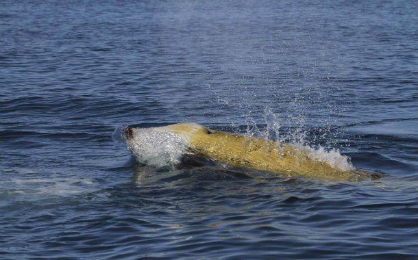La ballena que marcó el récord.