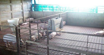 Maniataron a los moradores de un campo y se llevaron 98 cerdos