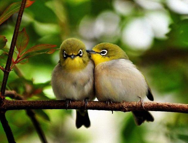 Los ejemplares que escogieron a sus propias parejas tuvieron mejores tasas de supervivencia de sus polluelos.