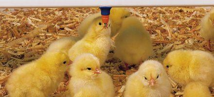 Sacrificarán más de 1.300.000 pollitos bebé si no se levantan los piquetes