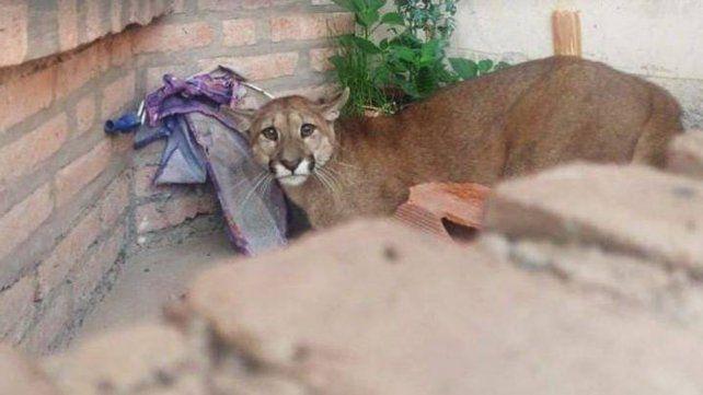El animal estaba en el ingreso a una casa en la capital jujeña.