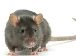 Una rata en el restaurante. (Foto de archivo)