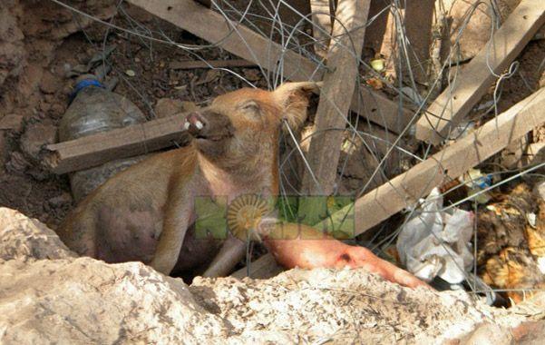 Demencial. Uno de los animales muertos en el pozo de agua envenenado.