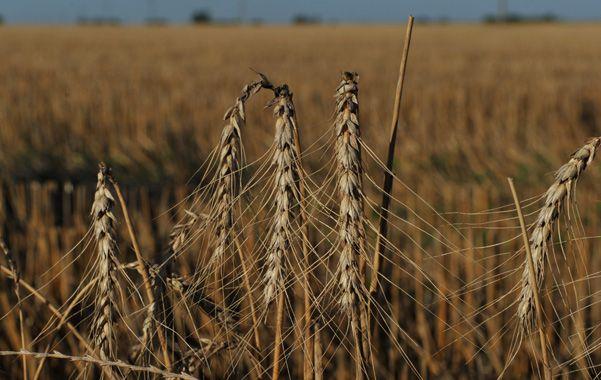 En baja. El trigo padece la escasez de lluvias y las últimas heladas. (Foto: C. Mutti Lovera)