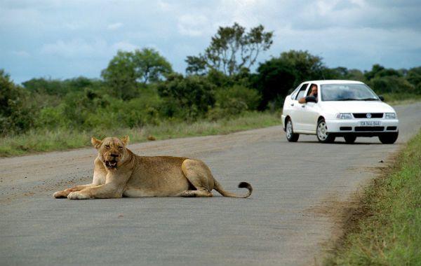 Encontrarse con un león en medio de la carretera es una bendición