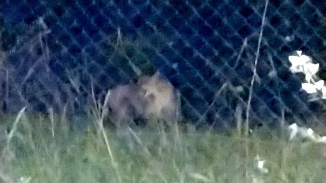 Buscan en Roldán a un puma que fue filmado caminando en plena zona urbana