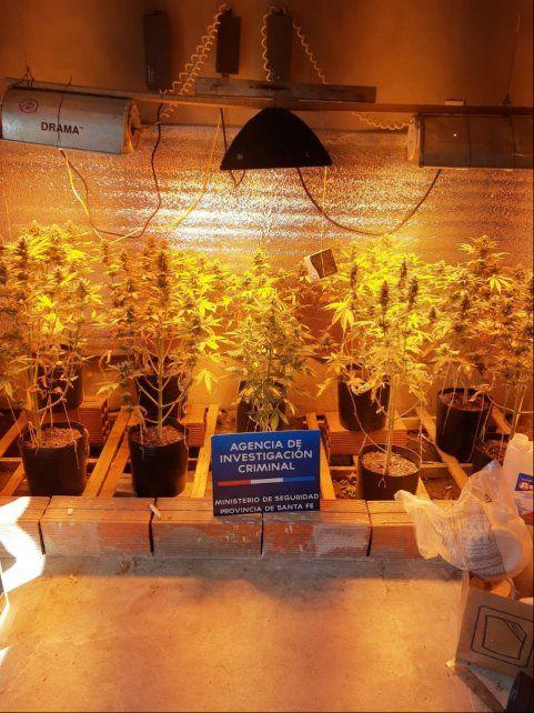 En la casa allanada había un importante vivero donde cultivaban plantas de marihuana.