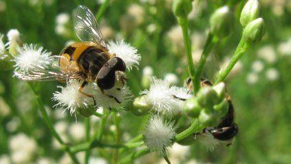 """La """"Palpada"""", un género de moscas de las flores que se alimenta del néctar o el polen (Foto: Hugo J. Marrero)."""