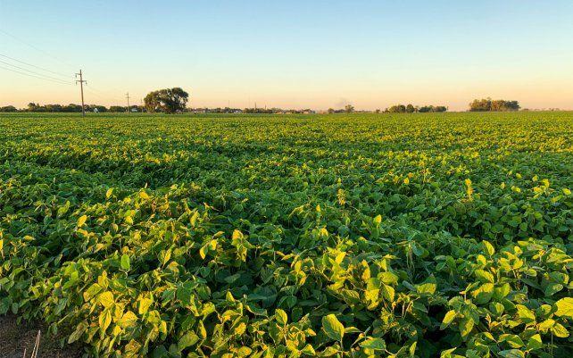 La soja fue perdiendo área frente al maíz al tener menos márgenes brutos.