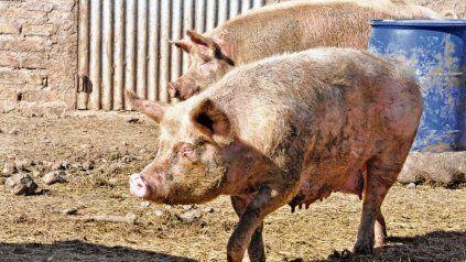 En Argentina, la principal fuente de infección para el ser humano es el cerdo doméstico.