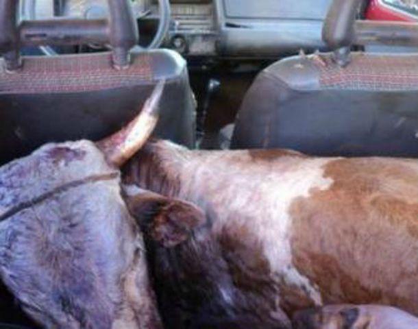 Increíble. El animal faenado en el asiento trasero del pequeño automóvil.