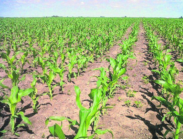 maíz. Estiman que habrá que cosechar maíces de 90 qq/ha para cubrir costos.