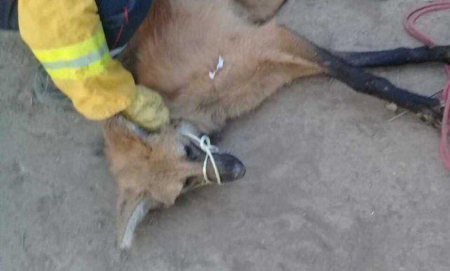 El ejemplar rescatado era una hembra de un año y medio y se encontraba en buen estado general.
