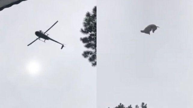 Un empresario tiró un cerdo a una pileta desde un helicóptero