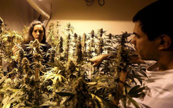 En casa. El Estado uruguayo otorgará entre dos y seis licencias para cultivar cannabis en áreas de 1 ó 2 hectáreas.