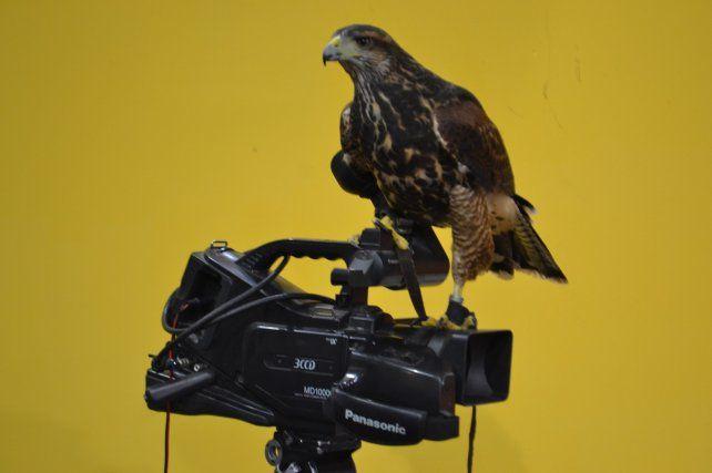 La gavilán mixta hembra, llamada María Emilia, voló dentro del estudio de televisión de Canal 12 (Venado Tuerto) y hasta posó en una cámara.