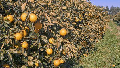 La cosecha del citrus tuvo una caída abrupta en 2020.