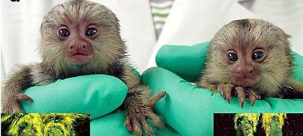 Crean un mono capaz de transmitir a su descendencia un gen implantado