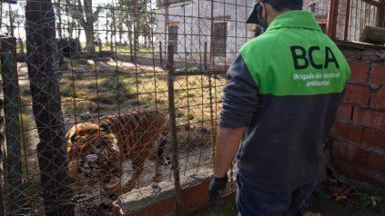 Rescataron un tigre de bengala y una leona tras un allanamiento en una localidad santafesina