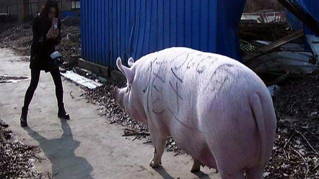 Ante la escasez, China cría cerdos del tamaño de osos polares