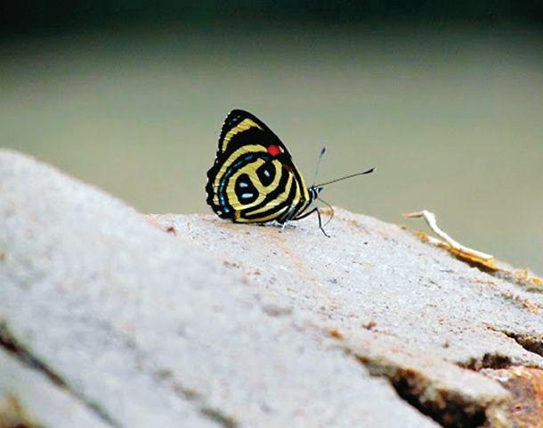 Las vistosas y coloridas mariposas misioneras.