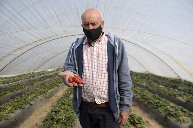Miguel García sigue la tradición familiar, sus quintas llevan cien años produciendo frutillas.