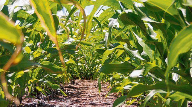 Senasa y ASA implementaron un plan piloto para certificación de semillas experimentales de maíz.