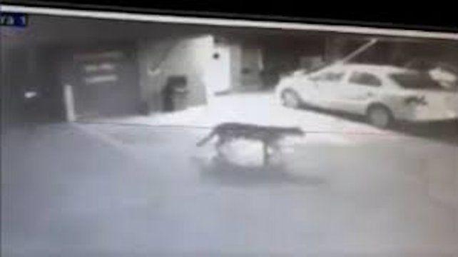 Armstrong. La imagen del puma fue captada esta madrugada por cámaras de seguridad del Hotel Norte.