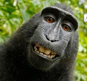El mono fue el que sacó la foto por lo tanto Wikipedia le adjudica el derecho de autor.