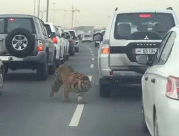 El enorme felino apareció corriendo entre los autos detenidos en la autopista.