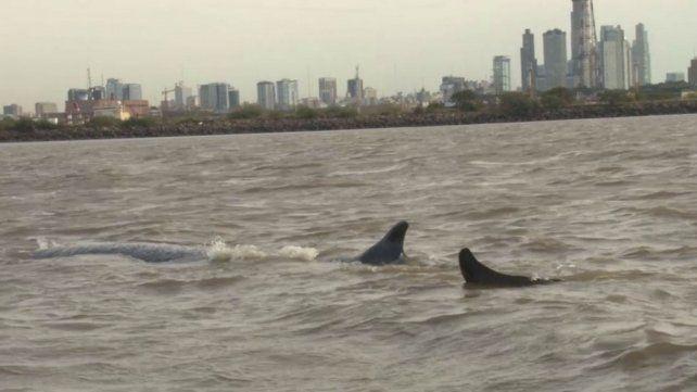 Murió la ballena que durante cinco días estuvo varada en Dock Sud