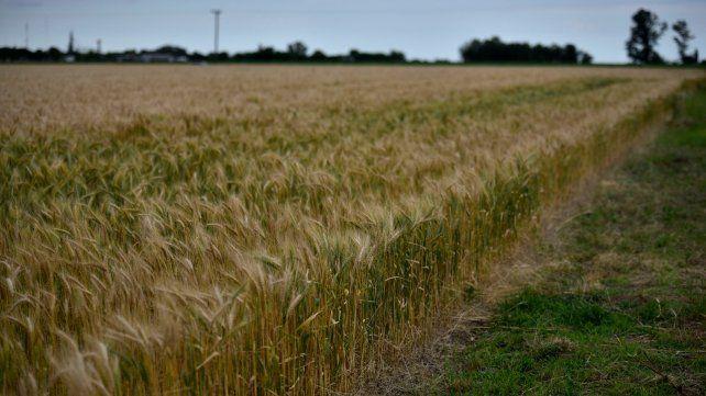Trigo. El cereal recibió lluvias pero de todos modos el rinde caerá de 10 a 15%.
