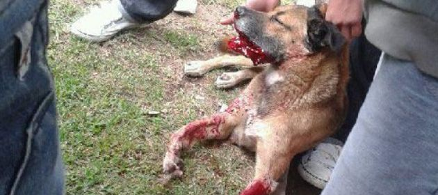 El perro Dardo superó con éxito la operación reconstructiva pero se mantenía internado con pronóstico reservado.