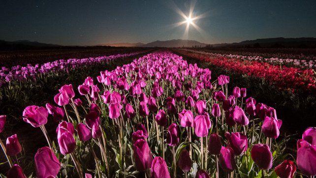 Colores. En la Argentina son pocos los productores de tulipanes y en esta región sorprende la variedad de especies alcanzadas.