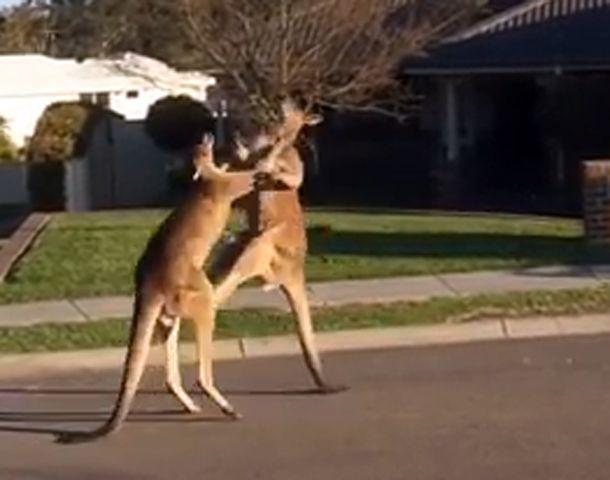 Dos canguros se agarraron a piñas en plena calle y el video se viralizó en la web