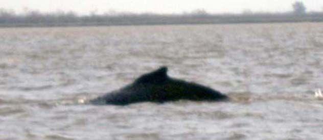 La ballena nadaba perdida en pleno río Uruguay. Los vecinos pudieron registrar su aparición. Abajo